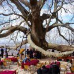 رحلة الشجرة التاريخية