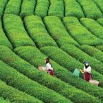 مزارع الشاي الشهيرة